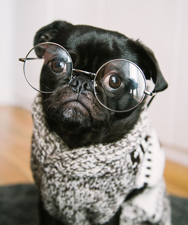 Smarty Pants image of pug